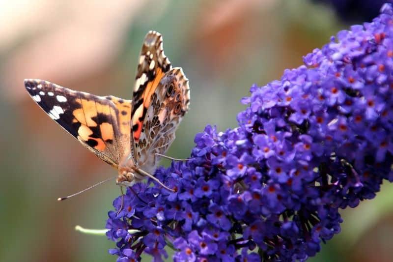 10-fantastic-butterfly-plants-1-buddleia