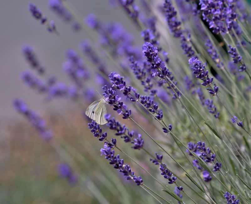 10-fantastic-butterfly-plants-2-lavender