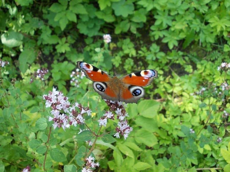 10-fantastic-butterfly-plants-4-marjoram