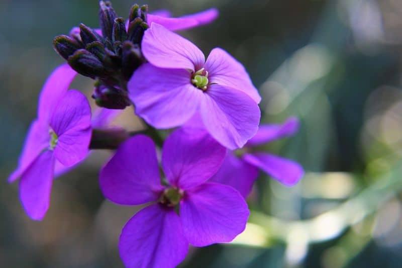 10-fantastic-butterfly-plants-5-perennial-wallflower
