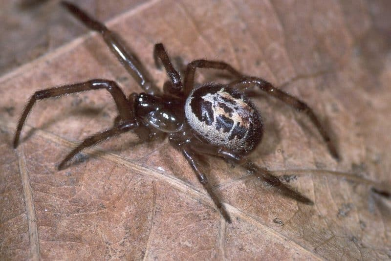 The False Widow Spider: It Loves Your Home & Garden and Wants To Be Friends