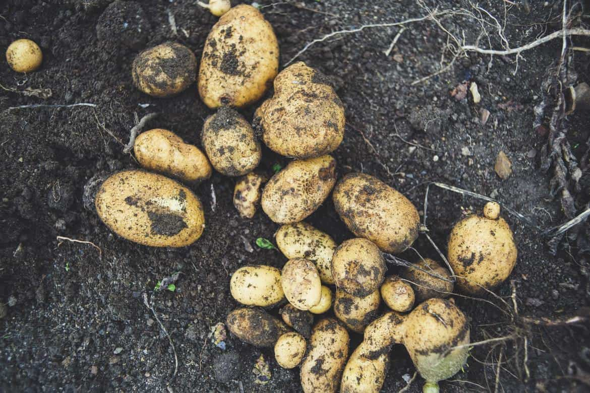 potatoes in the ground