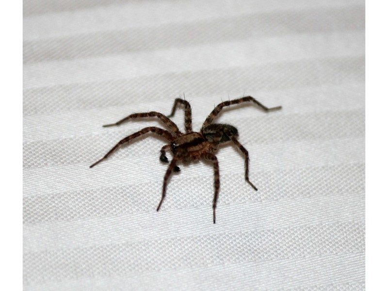 large spider on striped fabric