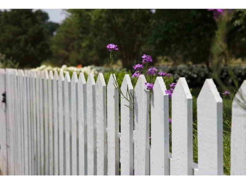 white picket fence with purple flowers growing through gaps