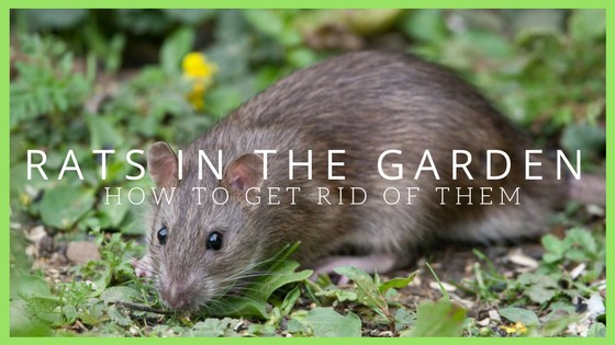 Rats in the garden
