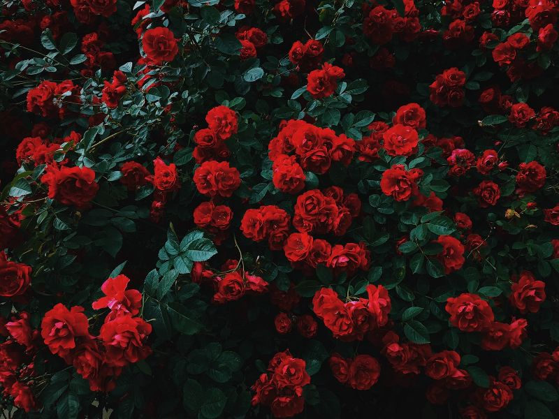 april-gardening-tips-and-chores-3-plant-roses-and-prune-climbing-roses-unsplash.jfif