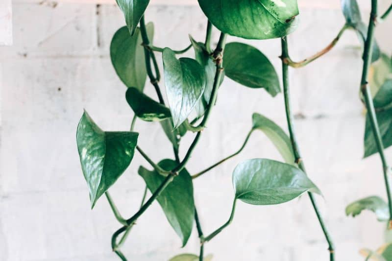 best-air-purifying-houseplants-to-detoxify-your-home-1-devils-ivy-unsplash
