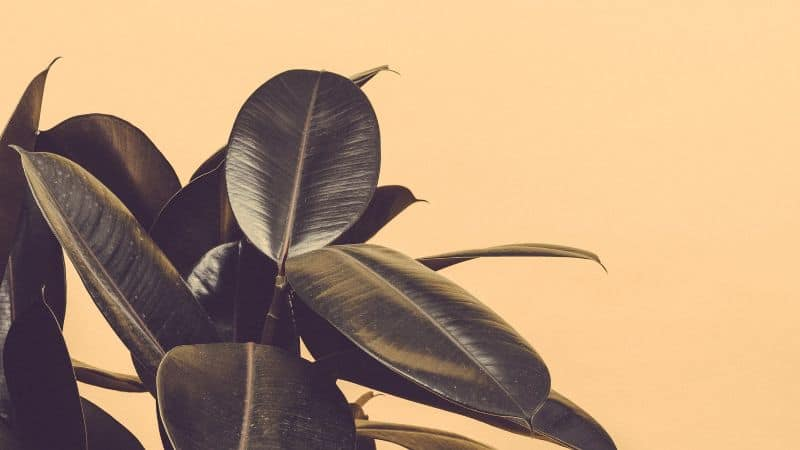 best-air-purifying-houseplants-to-detoxify-your-home-3-rubber-plant-unsplash