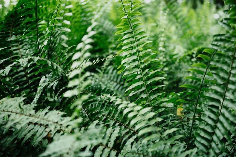 best-air-purifying-houseplants-to-detoxify-your-home-5-boston-fern-unsplash