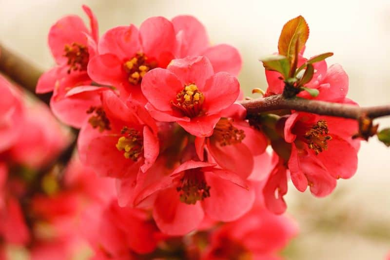 best-air-purifying-houseplants-to-detoxify-your-home-7-chaenomeles-pixabay