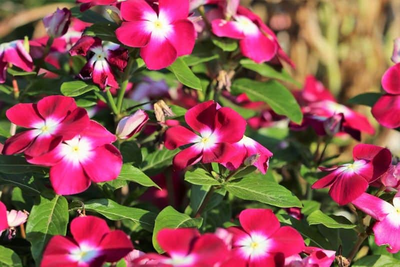 best-plants-for-your-vertical-garden-6-periwinkle-pixabay