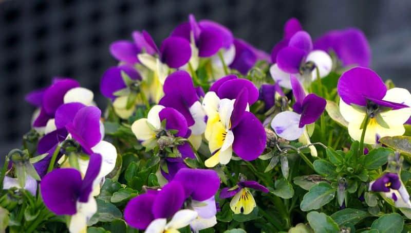 best-plants-for-your-vertical-garden-7-viola-pixabay