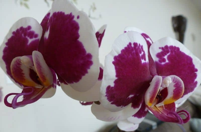 best-romantic-plants-for-valentines-day-2-moth-orchid-pixabay