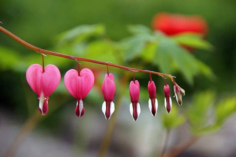 best-romantic-plants-for-valentines-day-3-bleeding-hearts-pixabay