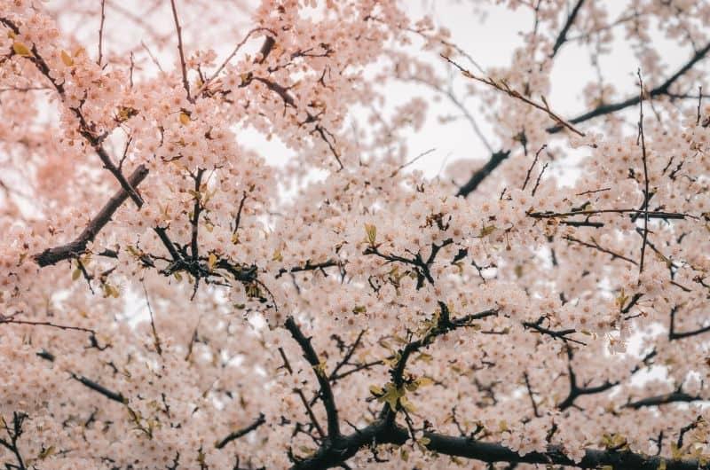 best-romantic-plants-for-valentines-day-4-cherry-tree-pixabay