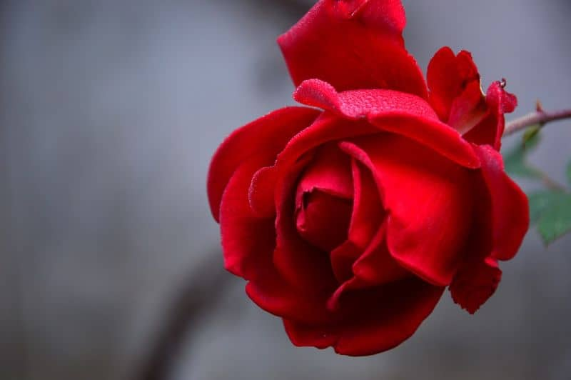 best-romantic-plants-for-valentines-day-5-rose-pixabay