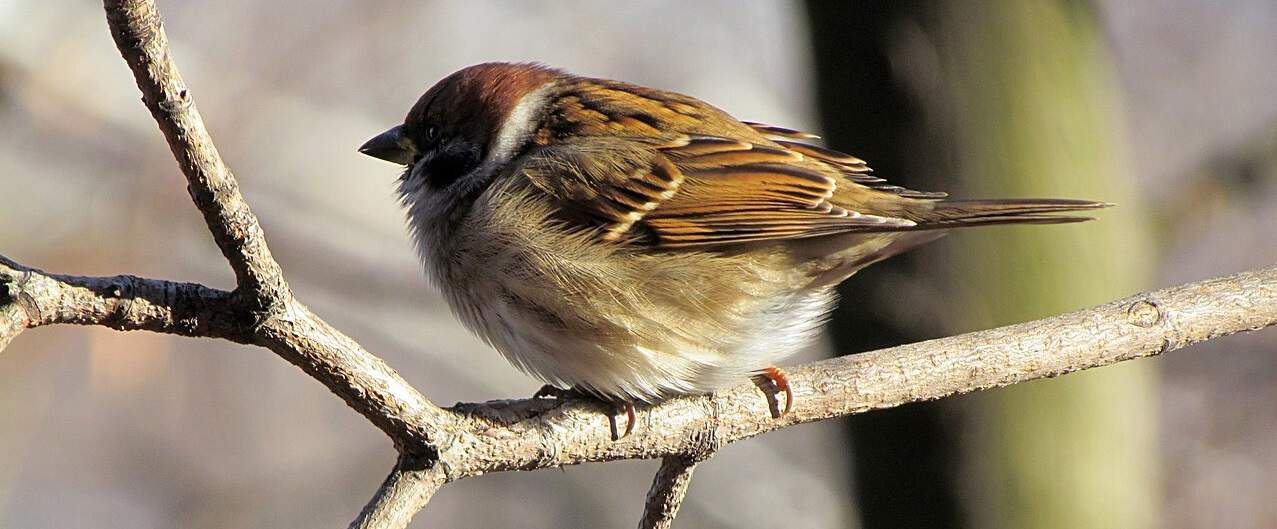 common-wild-birds-uk-1-house-sparrow