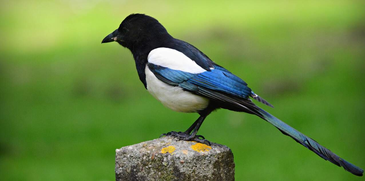 common-wild-birds-uk-10-magpie