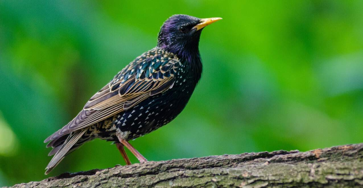 common-wild-birds-uk-2-starling