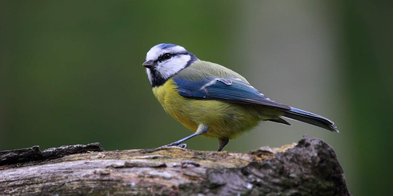 common-wild-birds-uk-3-blue-tit