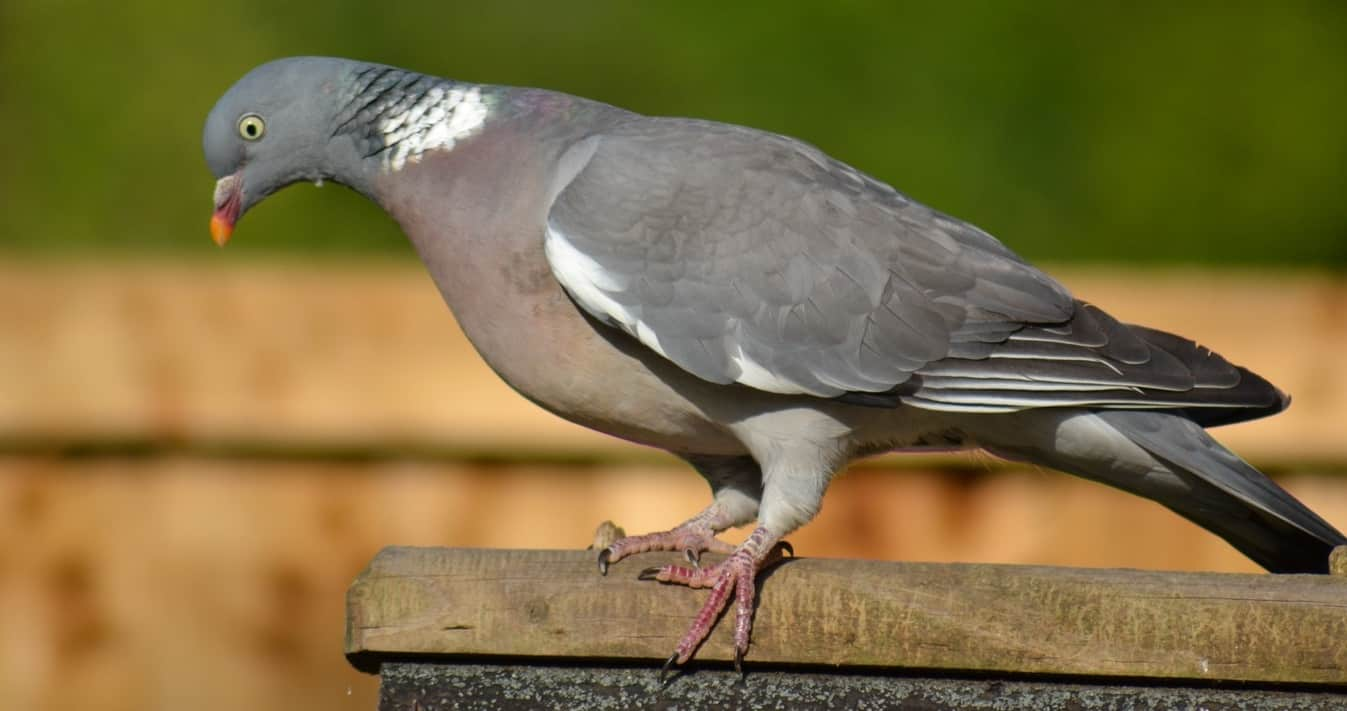 common-wild-birds-uk-5-woodpigeon