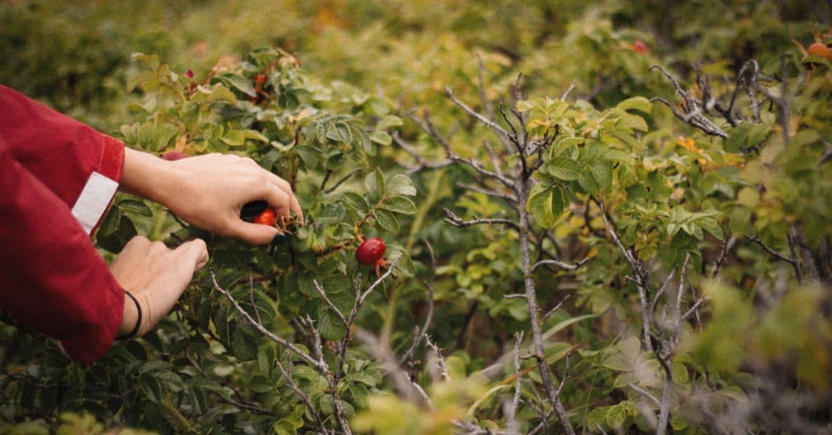 foraging-guide-hedgerows