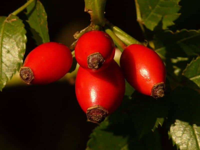 foraging-guide-make-the-most-of-the-hedgerows-4-rose-hips