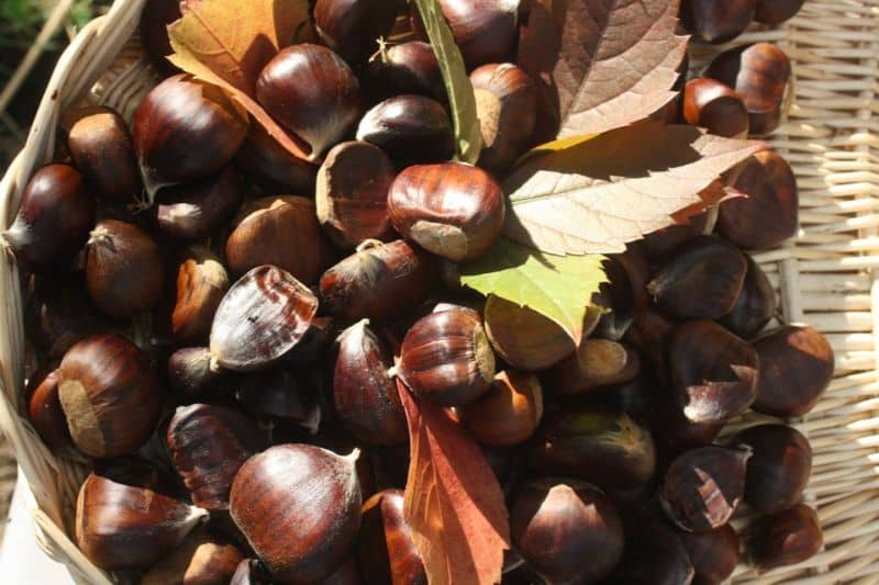 foraging-guide-make-the-most-of-the-hedgerows-5-sweet-chestnuts