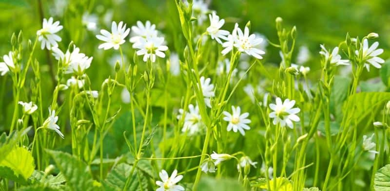foraging-guide-make-the-most-of-the-hedgerows-6-chickweed