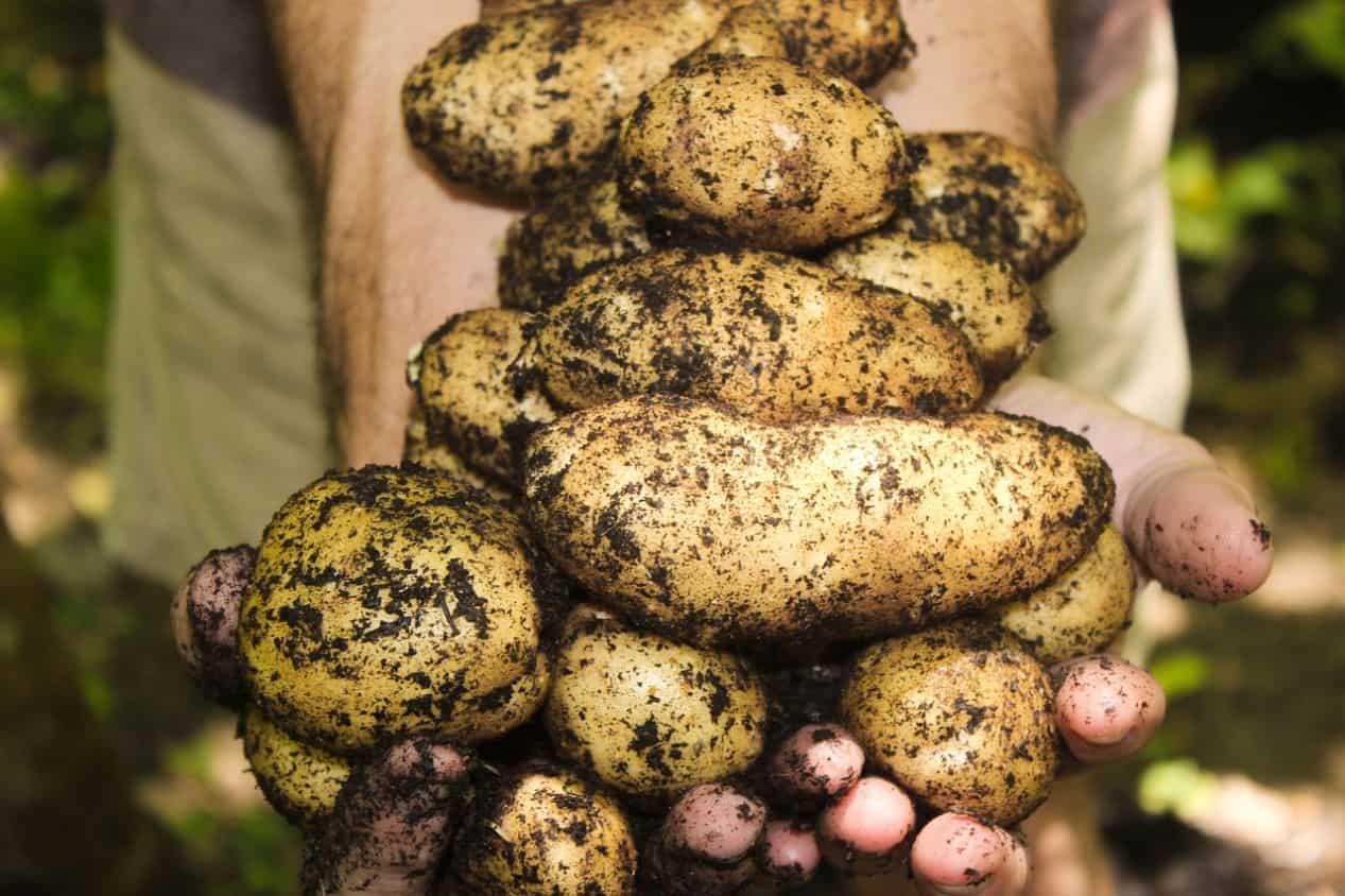 gardening-jobs-for-january-5-kick-off-potatoes-pixabay