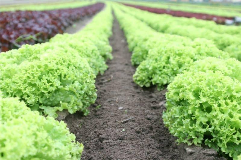 growing-your-own-vegetable-garden-the-basics-2-lettuce