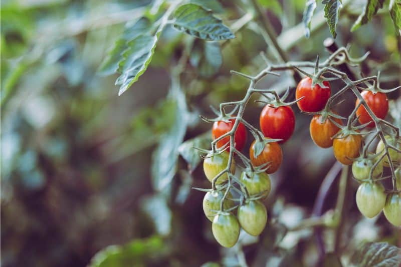 growing-your-own-vegetable-garden-the-basics-3-tomatoes