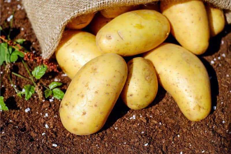 growing-your-own-vegetable-garden-the-basics-4-potatoes