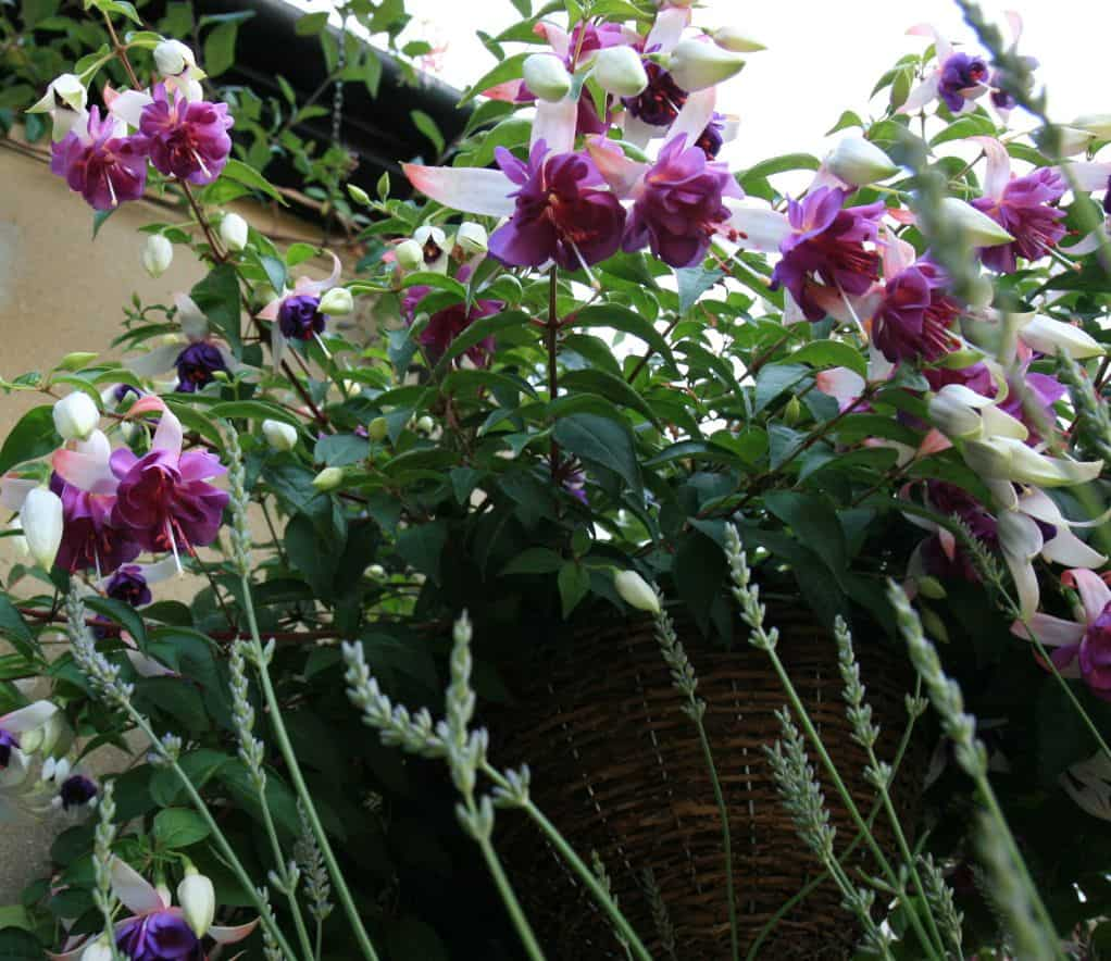 hanging-basket-flowers-2-fushcias
