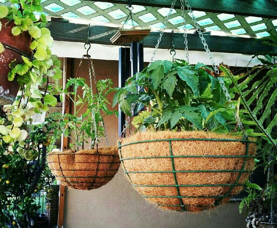 hanging-basket-flowers-5-tomatoes