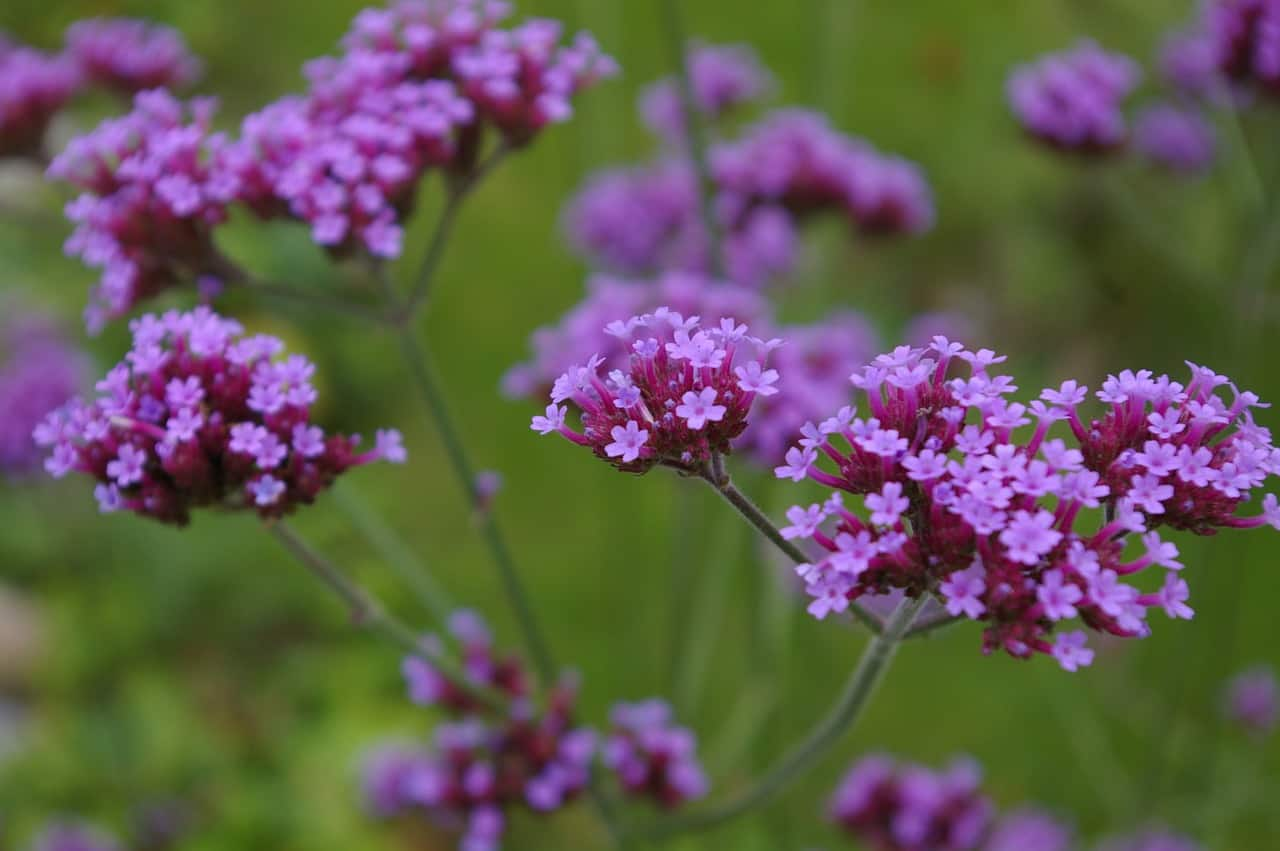 hanging-basket-flowers-7-verbena
