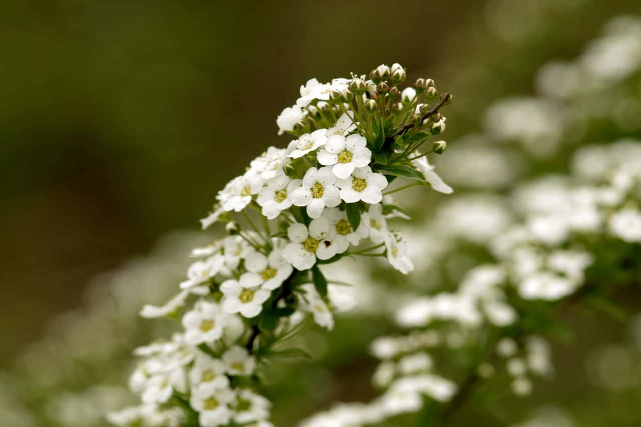 hanging-basket-flowers-8-sweet-alyssum