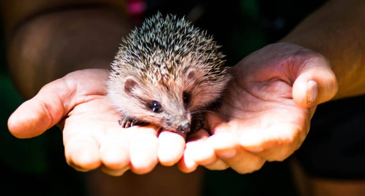 Seven Tips to Help Hungry Hedgehogs Survive