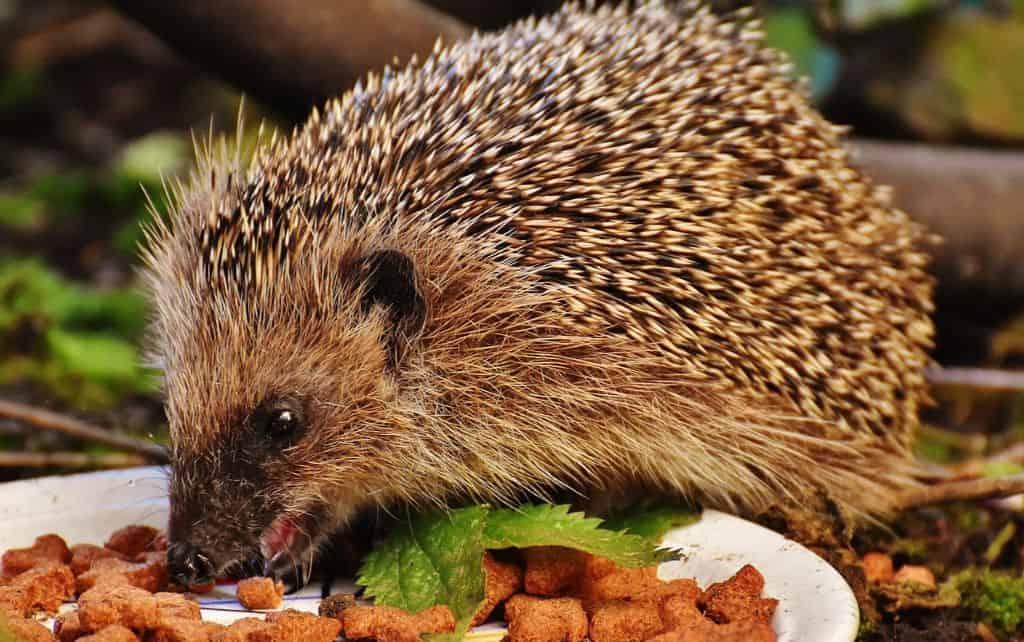 helping-hedgehogs-survive-2-food