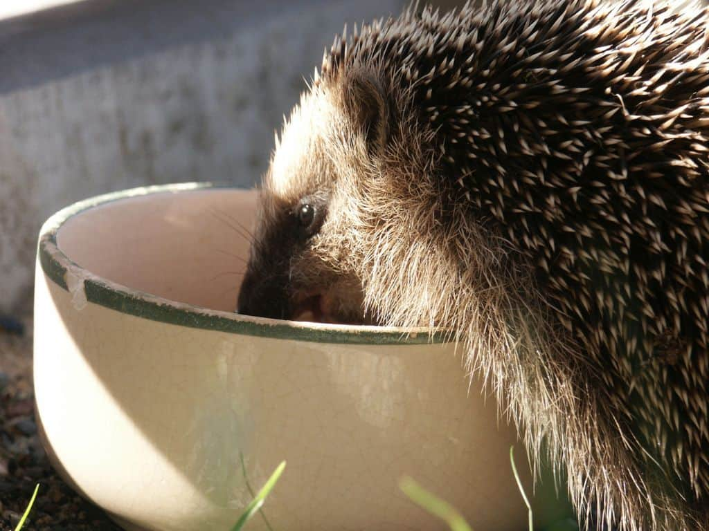 helping-hedgehogs-survive-3-water-dish