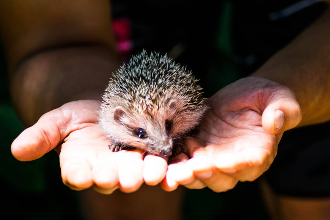 helping-hedgehogs-survive-4-handle-with-care