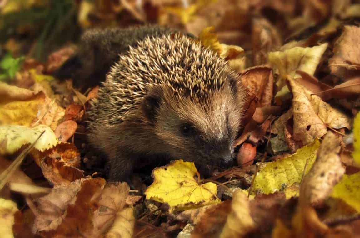helping-hedgehogs-survive-7-housing
