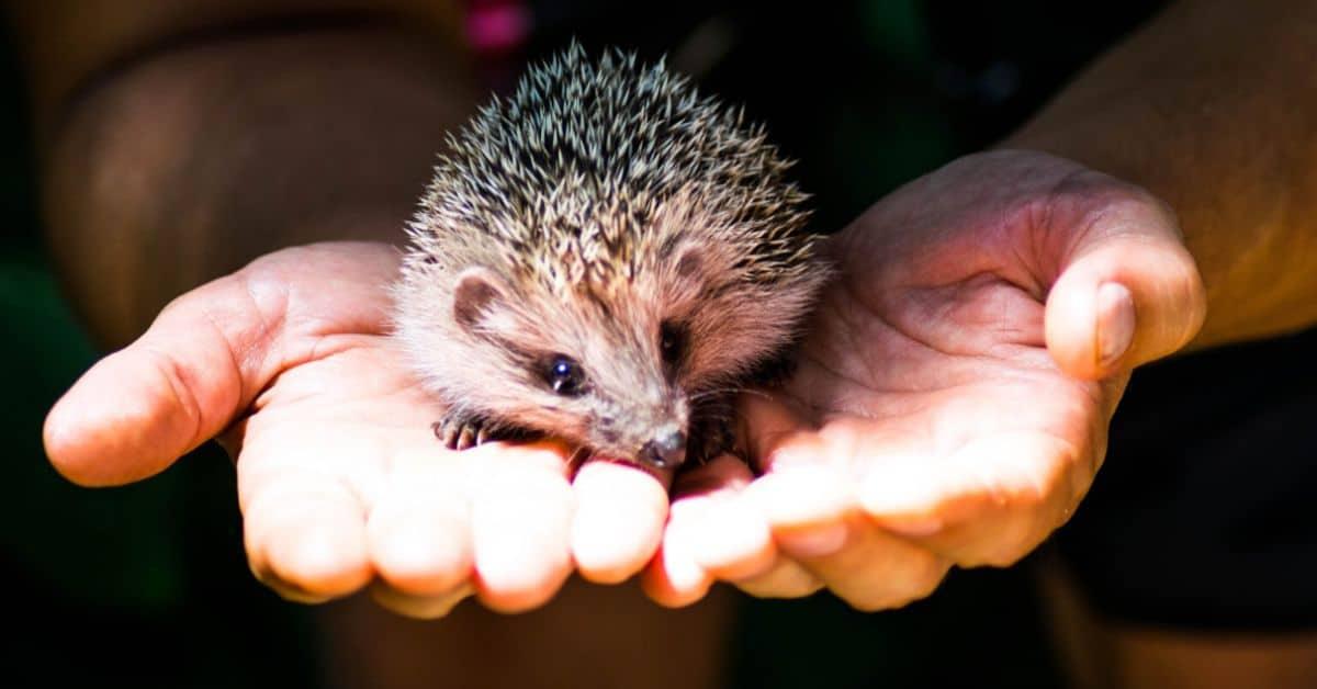 helping-hedgehogs-survive