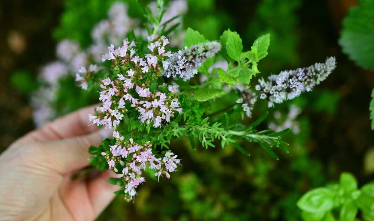herbal-gardening-health-benefits-6-anti-ageing