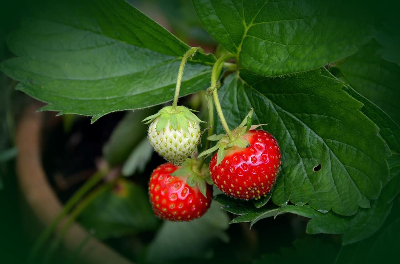 indoor-crops-7-strawberries-pixabay