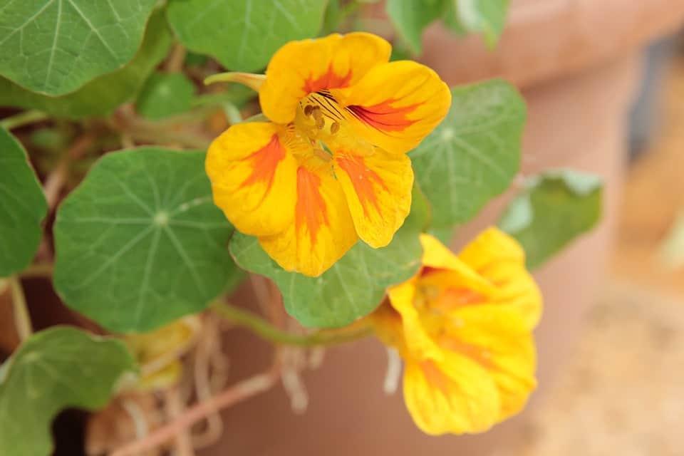 plant-profile-nasturtium-guide-2-smaller-varieties