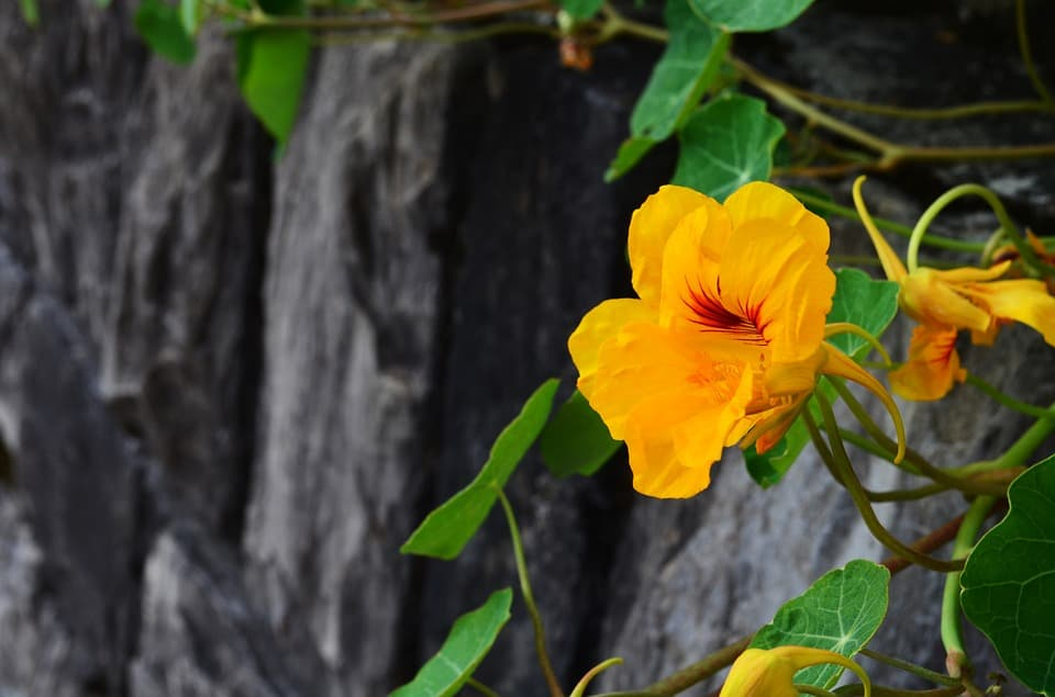 plant-profile-nasturtium-guide-3-growing-tips