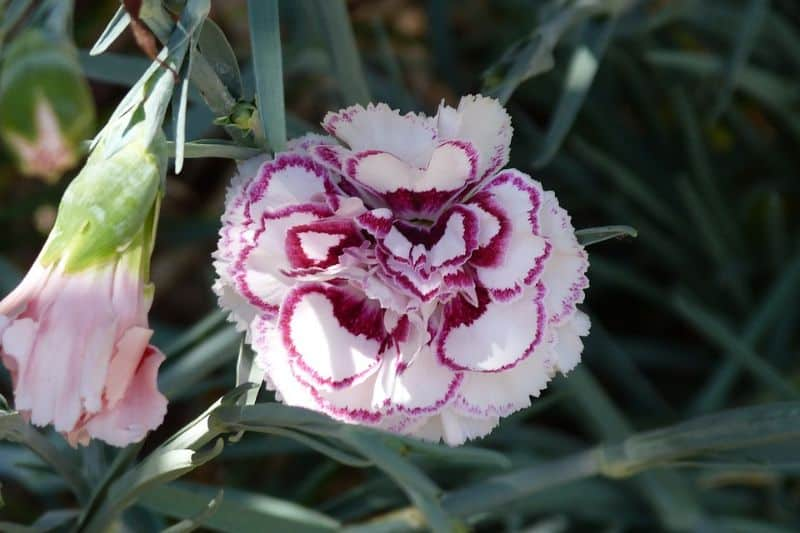plant-profile-pinks-dianthus-3-aftercare-tips