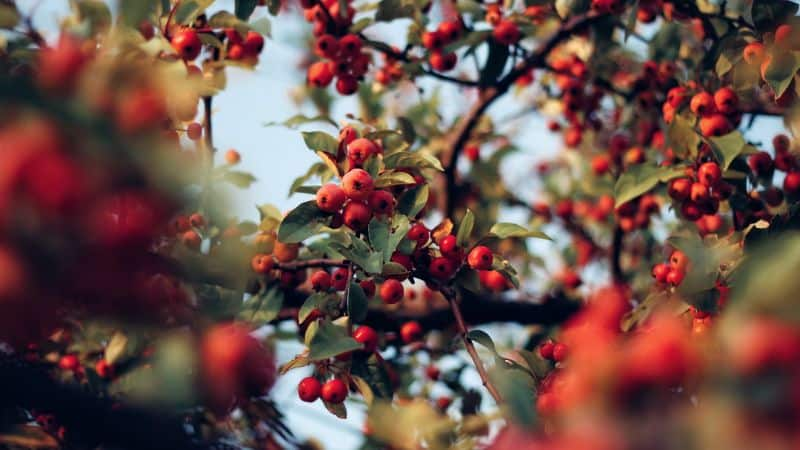 plant-profile-rosehip-guide-1-facts-about-rosehips