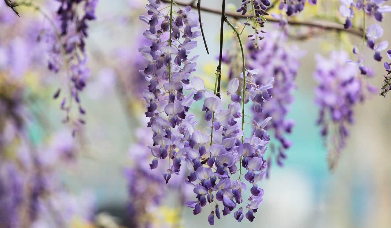 poisonous-plants-lurking-garden-3-wisteria